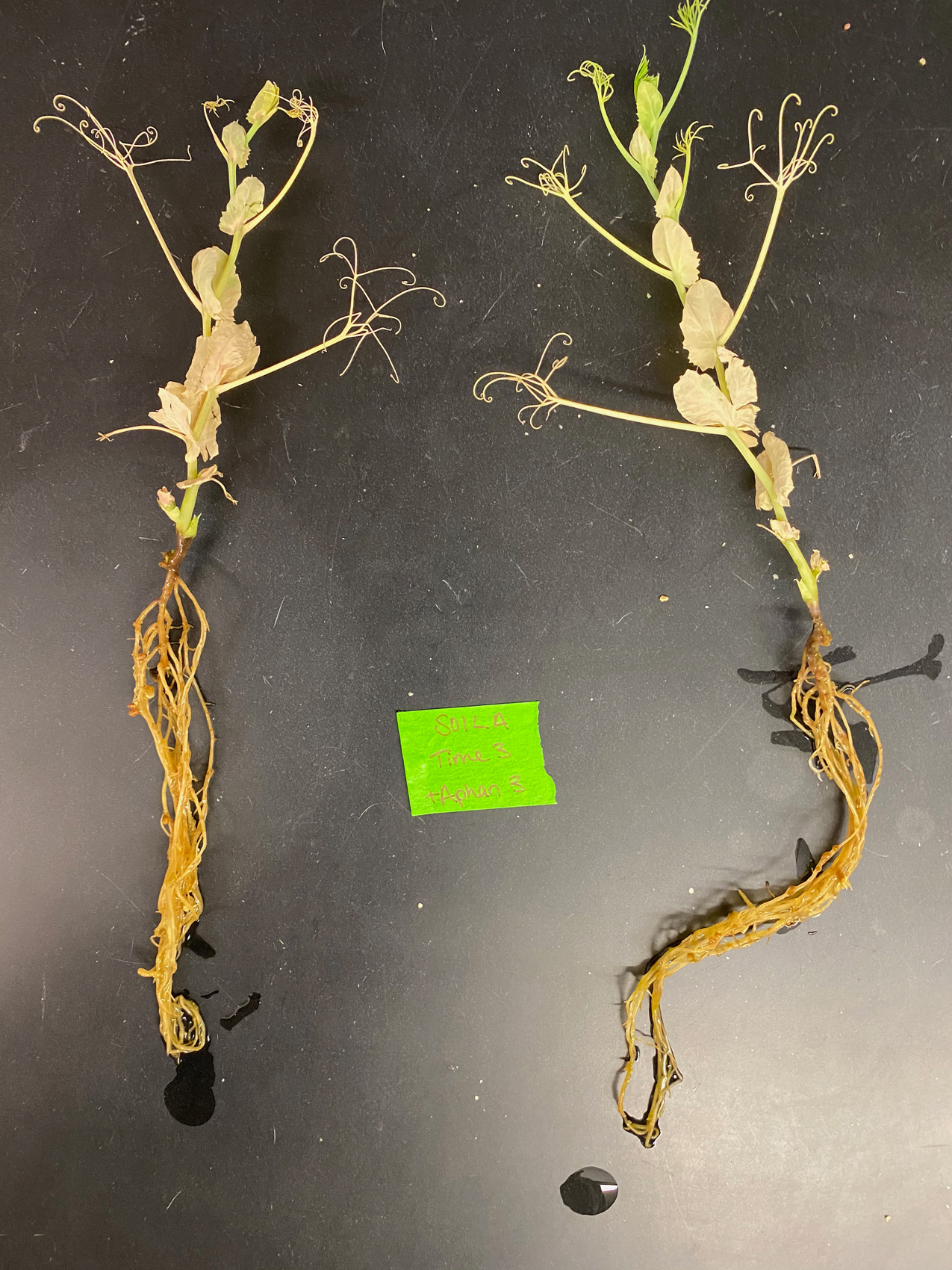 A pea plant infected with Aphanomyces. The bleached leaves are darker and honey brown roots are symptoms of infection.
