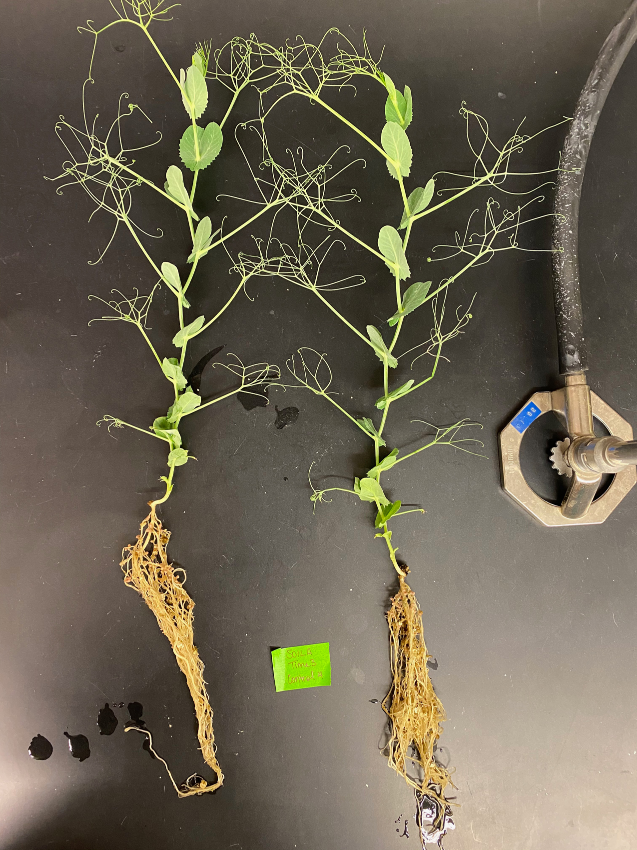 A pea plant with light coloured roots.