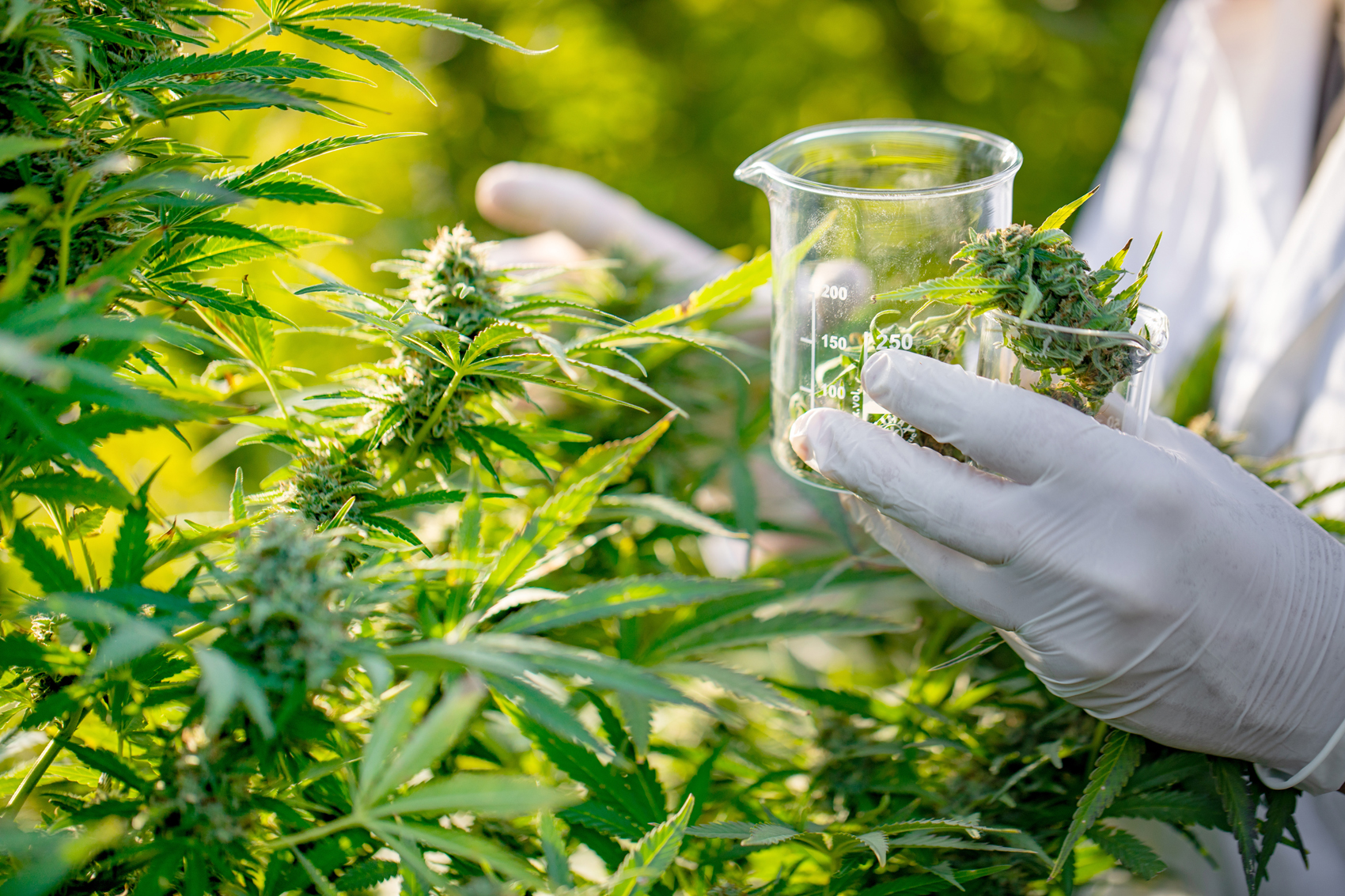 Researcher Taking a Few Cannabis Buds for Scientific Experiment.